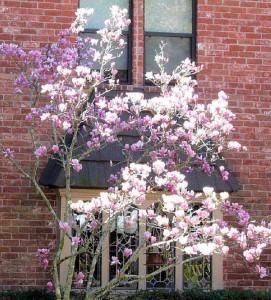 japanese-tulip-tree1