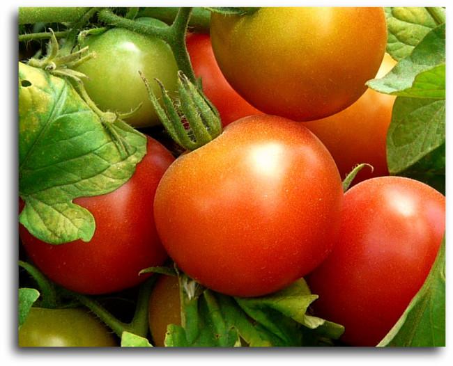 Tomatoes at Atkinson Farms Spring Texas