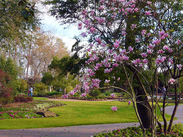 Lovely Mercer Botanic Gardens Tulip Tree
