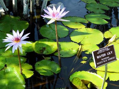 Mercer Botanic Gardens water lilly