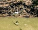 Egret in Cypress Creek